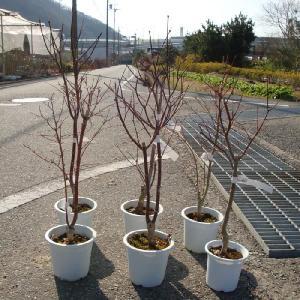 庭木:もみじ(野村・青板屋・トロンペンブルグ・万葉の里etc)*(訳あり)もみじの葉がない状態でのお届けとなる場合がございます。|y-bonsai