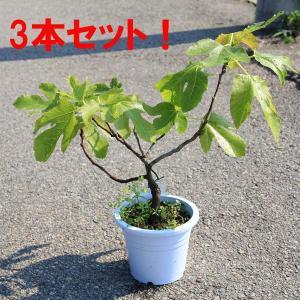 品種は不明です。庭木:イチジク *お得な3本セット  樹高選べます y-bonsai