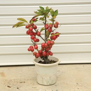 苗:姫りんご |y-bonsai