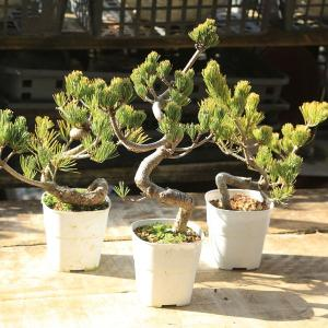 訳あり苗:五葉松(曲)ごようまつ 3本セット y-bonsai
