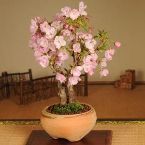 盆栽:旭山桜2本仕立て(信楽焼鉢)*2018年春開花
