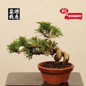 盆栽素材 苗:糸魚川真柏(いといがわしんぱく) 松柏  *一品限り 現品