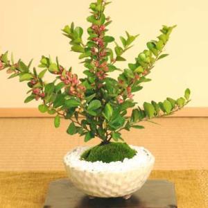 小品盆栽:ハートが実る木(瀬戸焼白釉丸鉢)*|y-bonsai