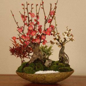 盆栽:大紅梅白梅寄せ*(紅白)(信楽焼鉢)2019年開花終了|y-bonsai