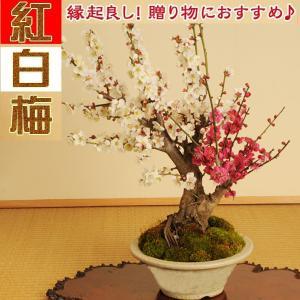 盆栽:紅白梅特大*瀬戸焼鉢*2019年開花終了|y-bonsai