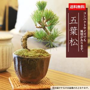 ミニ盆栽:五葉松(瀬戸焼小鉢)*祝い ギフト gift 誕生日祝 御祝 プレゼントにも|y-bonsai