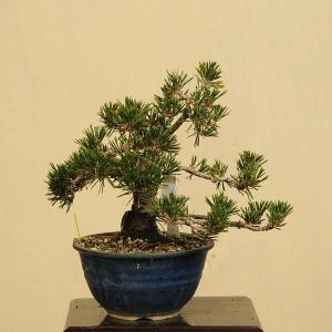 小品盆栽:寿松(コトブキマツ)*一品限り 現品物|y-bonsai