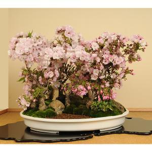 豪華桜寄せ盆栽:桜の杜*2019年春開花予定 お花見にも|y-bonsai