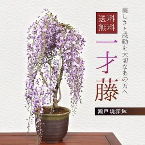 盆栽:一才藤(瀬戸焼深鉢)*藤 鉢植え 鉢花 プレゼント にも<2020年 春 開花予定>|y-bonsai