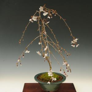 盆栽:しだれ富士桜(緑丸鉢)*2019年春開花終了|y-bonsai