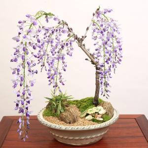 豪華寄植え:一才藤寄せ植え*2020年 春 開花予定|y-bonsai