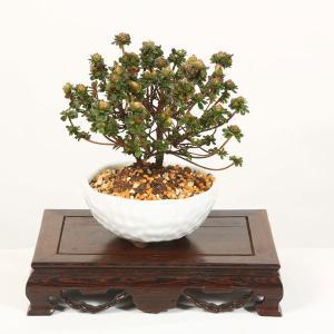 遅れてごめんね 母の日ギフトにも 小品盆栽:深山霧島つつじ(萬古焼白鉢)*春に開花|y-bonsai