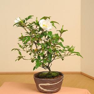 盆栽:ナニワノイバラ(瀬戸焼鉢)*お花終了しました|y-bonsai