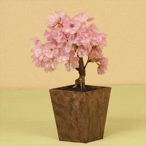エコ盆栽:一才桜*2020年 春 開花予定 y-bonsai