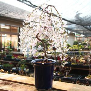 2019年春開花終了 盆栽:しだれ桜(富士桜)瀬戸焼黒釉深鉢*|y-bonsai