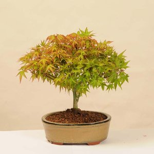 小品盆栽:清姫もみじ(陶器鉢)*鉢植え 秋  紅葉狩り プレゼントにも y-bonsai