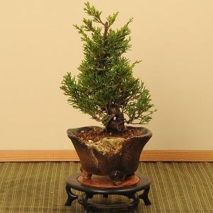 小品盆栽:糸魚川真柏(いといがわしんぱく)*|y-bonsai