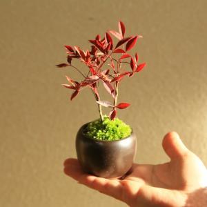 プチ盆栽:南天* 茶丸鉢