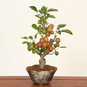 小品盆栽:姫りんご*(瀬戸焼変形鉢)|y-bonsai