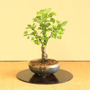 小品盆栽:姫りんご(太)*リンゴ|y-bonsai