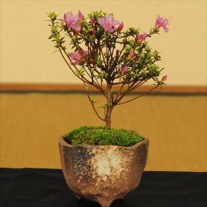 ミニ盆栽:米つつじ(信楽焼小鉢)* y-bonsai