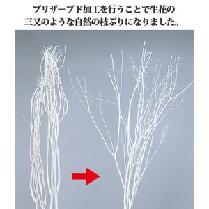 《 ドライフラワー 》大地農園/オオチノウエン 三又ソフト(約100cm) 白|y-hanabishi|02