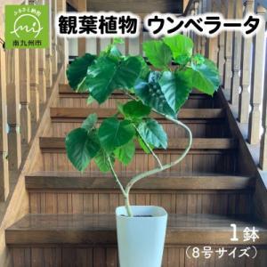 南九州市 ふるさと納税 観葉植物 ウンベラータ8号サイズ1鉢|y-sf