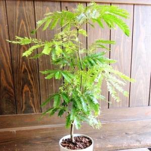 南九州市 ふるさと納税 観葉植物 エバーフレッシュ7号サイズ1鉢|y-sf