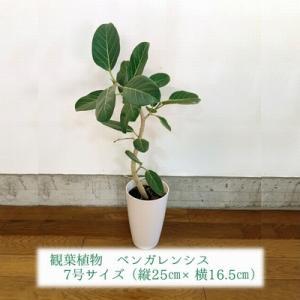 南九州市 ふるさと納税 観葉植物 ベンガレンシス7号サイズ1鉢|y-sf