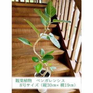 南九州市 ふるさと納税 観葉植物 ベンガレンシス8号サイズ1鉢|y-sf