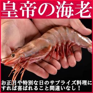 皇帝の海老 天然シータイガー 約27cm 1尾 超特大! yakisobaohkoku