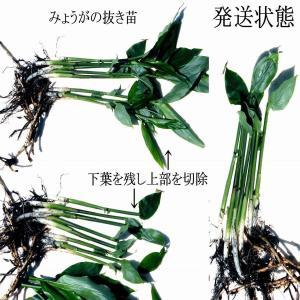 【発送中!】天然茗荷・みょうが・ミョウガの発芽地下茎・栽培♪苗10株|yakusekien