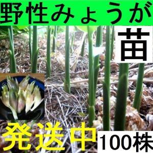 【発送中!】天然茗荷・みょうが・ミョウガの発芽地下茎・栽培♪苗100株|yakusekien