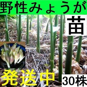 【発送中!】天然茗荷・みょうが・ミョウガの発芽地下茎・栽培♪苗30株|yakusekien