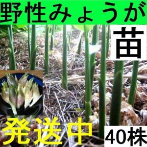 【発送中!】天然茗荷・みょうが・ミョウガの発芽地下茎・栽培♪苗40株|yakusekien