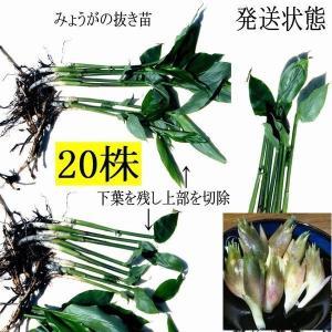 【発送中!】天然茗荷・みょうが・ミョウガの発芽地下茎・大サイズ 栽培♪苗20株|yakusekien