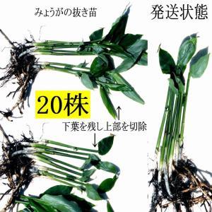 【発送中!】翌日〜3日で着!天然茗荷・みょうが・ミョウガの地下茎・栽培♪苗20株|yakusekien