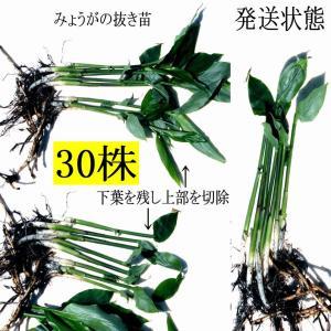 【発送中!】翌日〜3日で着!天然茗荷・みょうが・ミョウガの地下茎・栽培♪苗30株