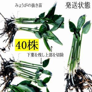 【発送中!】翌日〜3日で着!天然茗荷・みょうが・ミョウガの地下茎・栽培♪苗40株|yakusekien