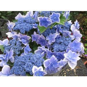 紫陽花(青)「コンペイトウ」5号鉢(直径15cm)|yama