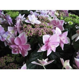 紫陽花(ピンク)「コンペイトウ」5号鉢【送料無料】|yama