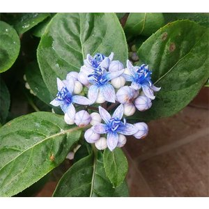 紫陽花「碧の瞳(あおのひとみ)」6号鉢 蕾つき・開花始まり|yama