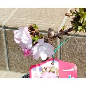 桜(さくら)鉢花(一才桜「旭山」)4号鉢 開花中|yama