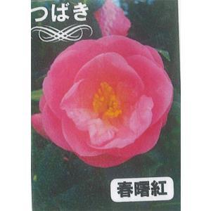 椿(つばき)「春曙紅(しゅんしょっこう)」5号ポット|yama