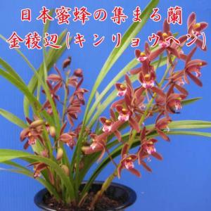 金稜辺(キンリョウヘン) の紹介 ・日本蜜蜂(ミツバチ)の集まる蘭です。 ・花なし株 3.5号鉢です...