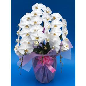 胡蝶蘭大輪白3本立ちの紹介 ・ギフトに最適な胡蝶蘭です。花もちがとても良いです。 ・贈り物、部屋飾り...