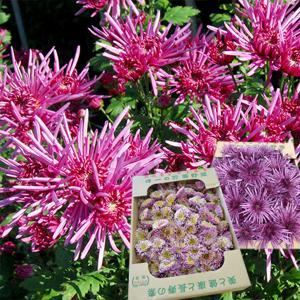 山形の食用菊もってのほか「本もって」または「長寿もって」1kg|yamagata-umaies