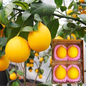 山形レモン(農薬不使用・ノーワックス)箱入|yamagata-umaies
