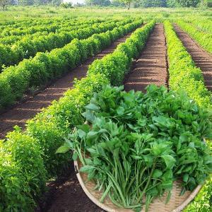 山形の伝統野菜うこぎ菜(新梢×400g)|yamagata-umaies