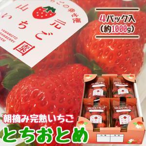 いちご とちおとめ 山元町産 朝摘みいちご4パック|yamamoto-ichigo15